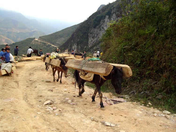 Nguồn gốc gỗ Pơ Mu, đặc tính của gỗ pơ mu như thế nào? 1