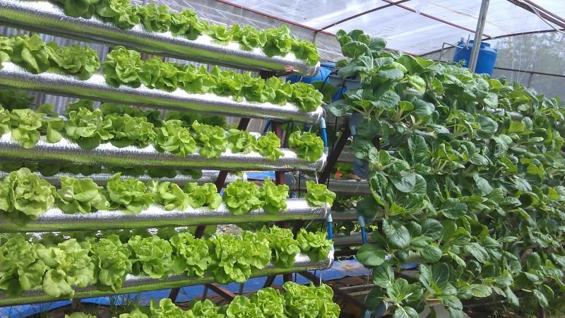 Thiết kế vườn trên mái kết hợp bông khoáng trồng rau
